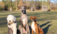 Three dogs stand ready for training at Red Star Kennel.