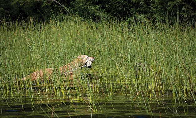 A hunting dog named Hattie practices retrieval.