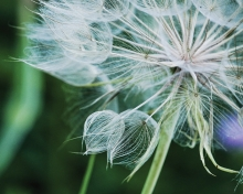 Dandelion, Nature, Outdoors, St. Croix Valley